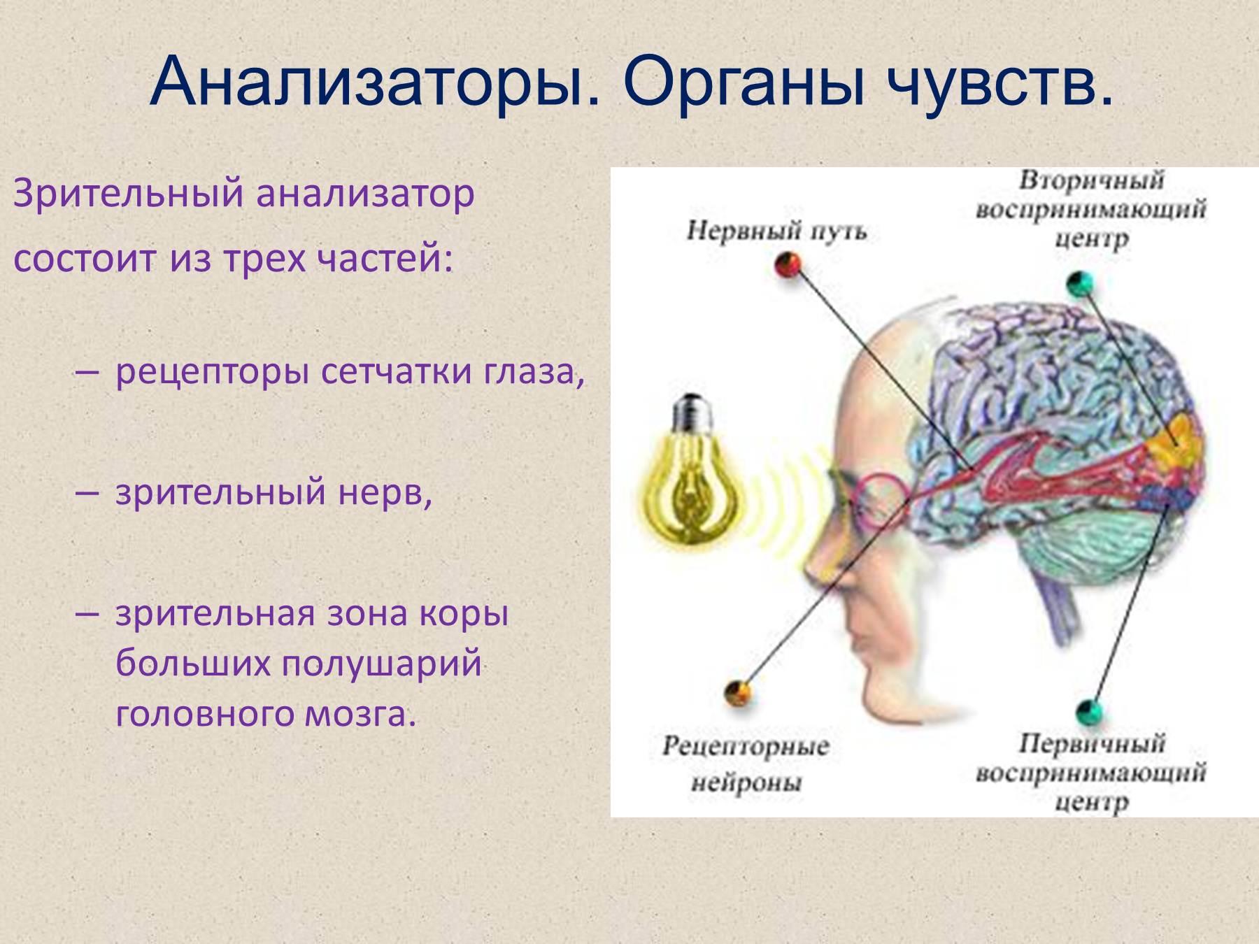Схема зрительного и слухового анализаторов