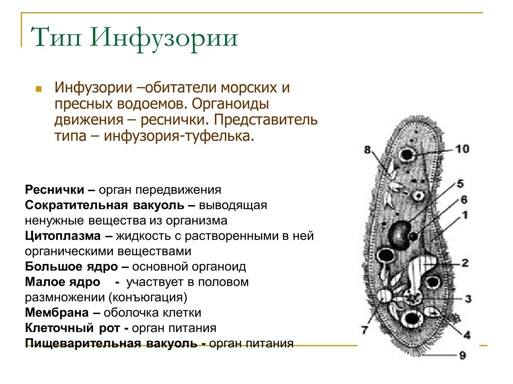 органоиды инфузории туфельки фото