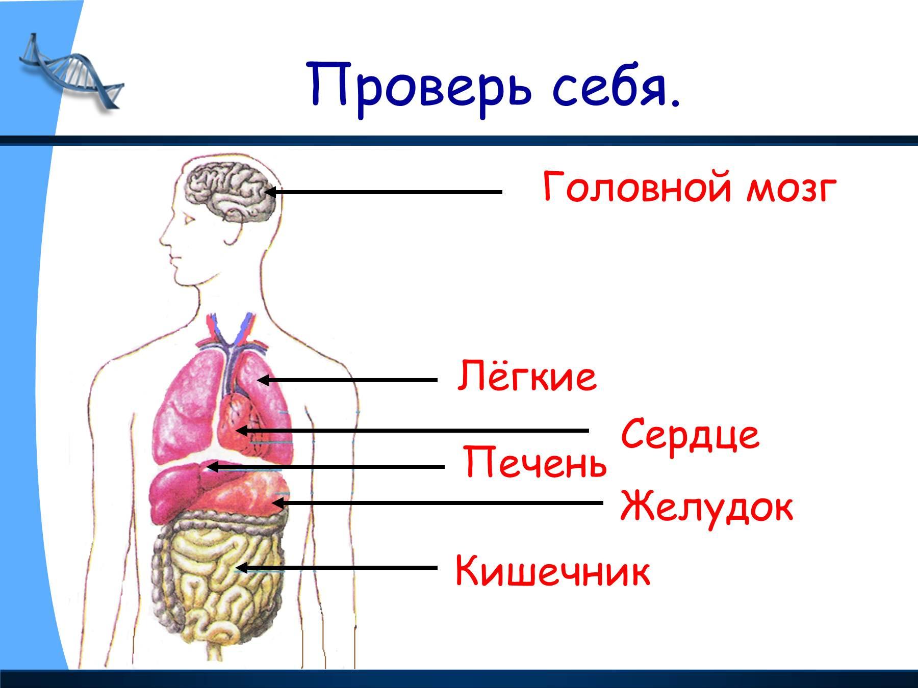 Внутренние органы ребенка схема расположения