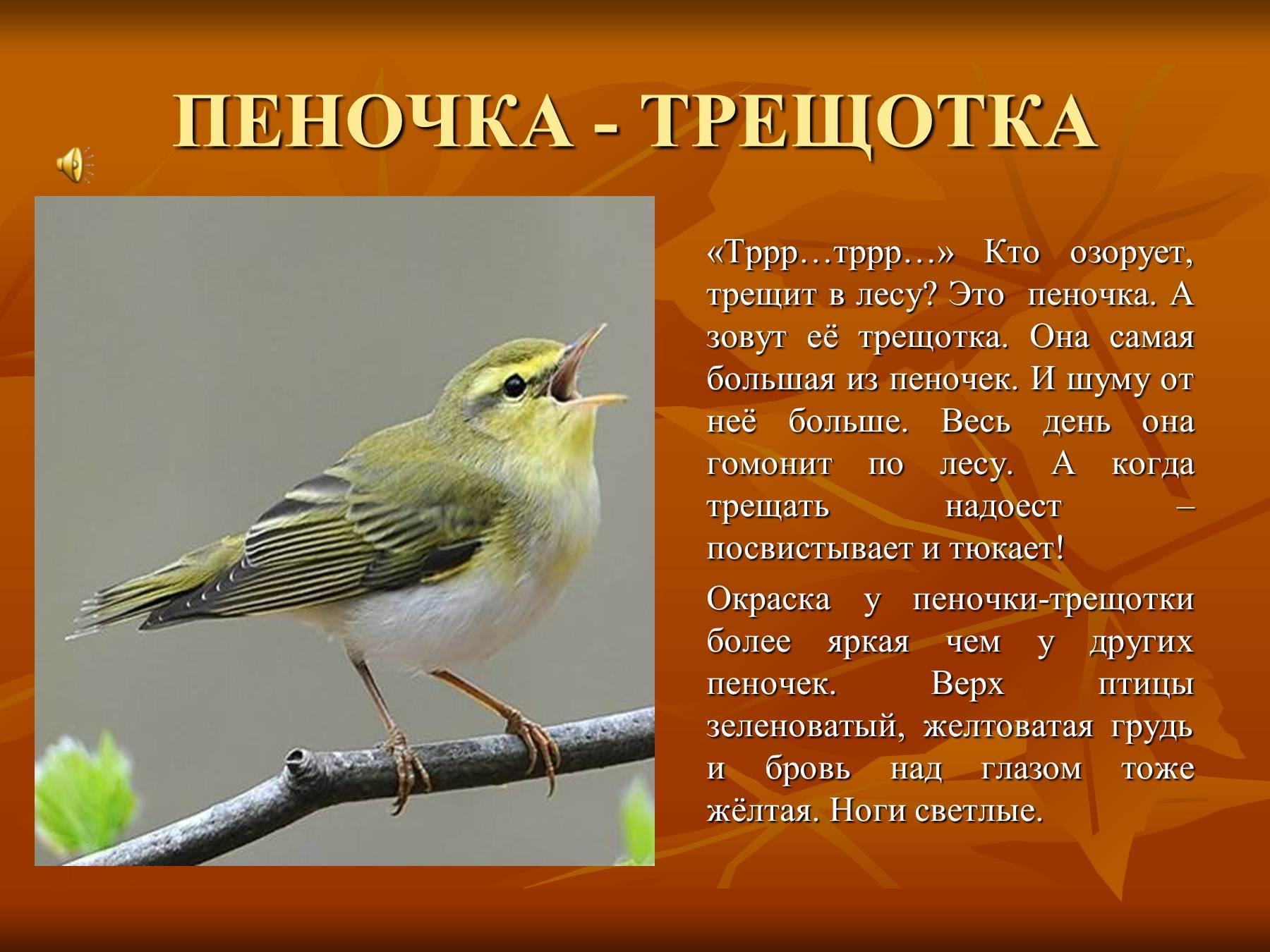 Птица которая трещит как трещетка