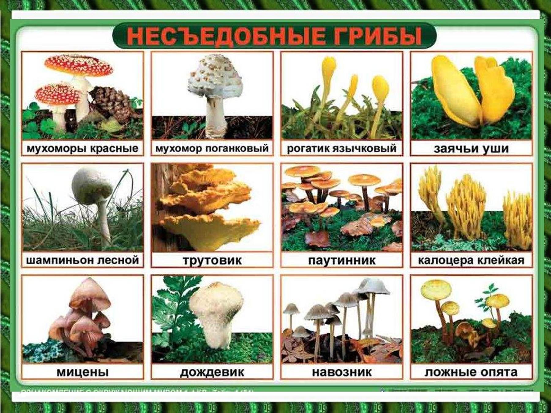 Фото несьедобных и ядовитых грибов 3