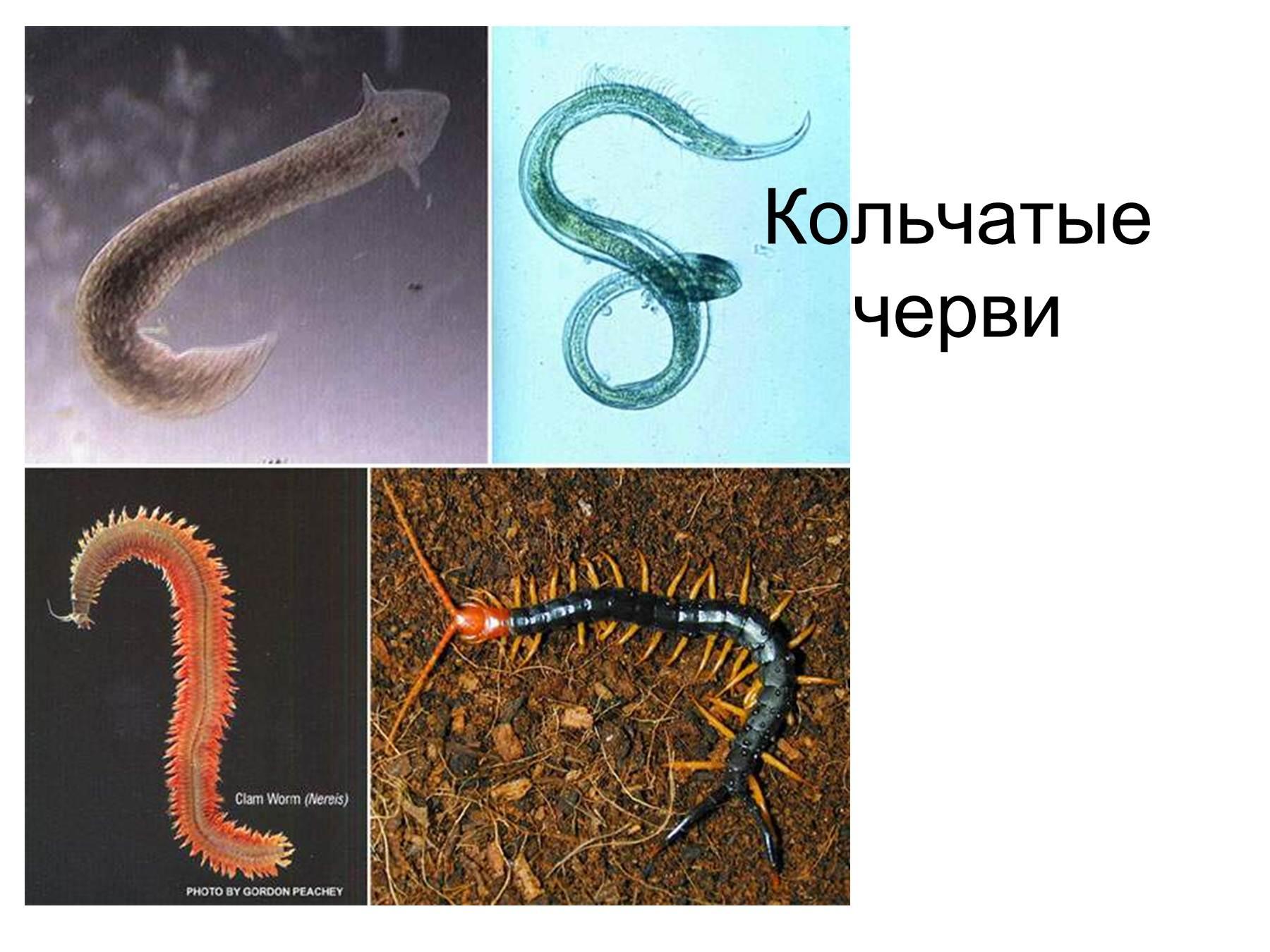 dozhdevoy-cherv-germafrodit-ili-net