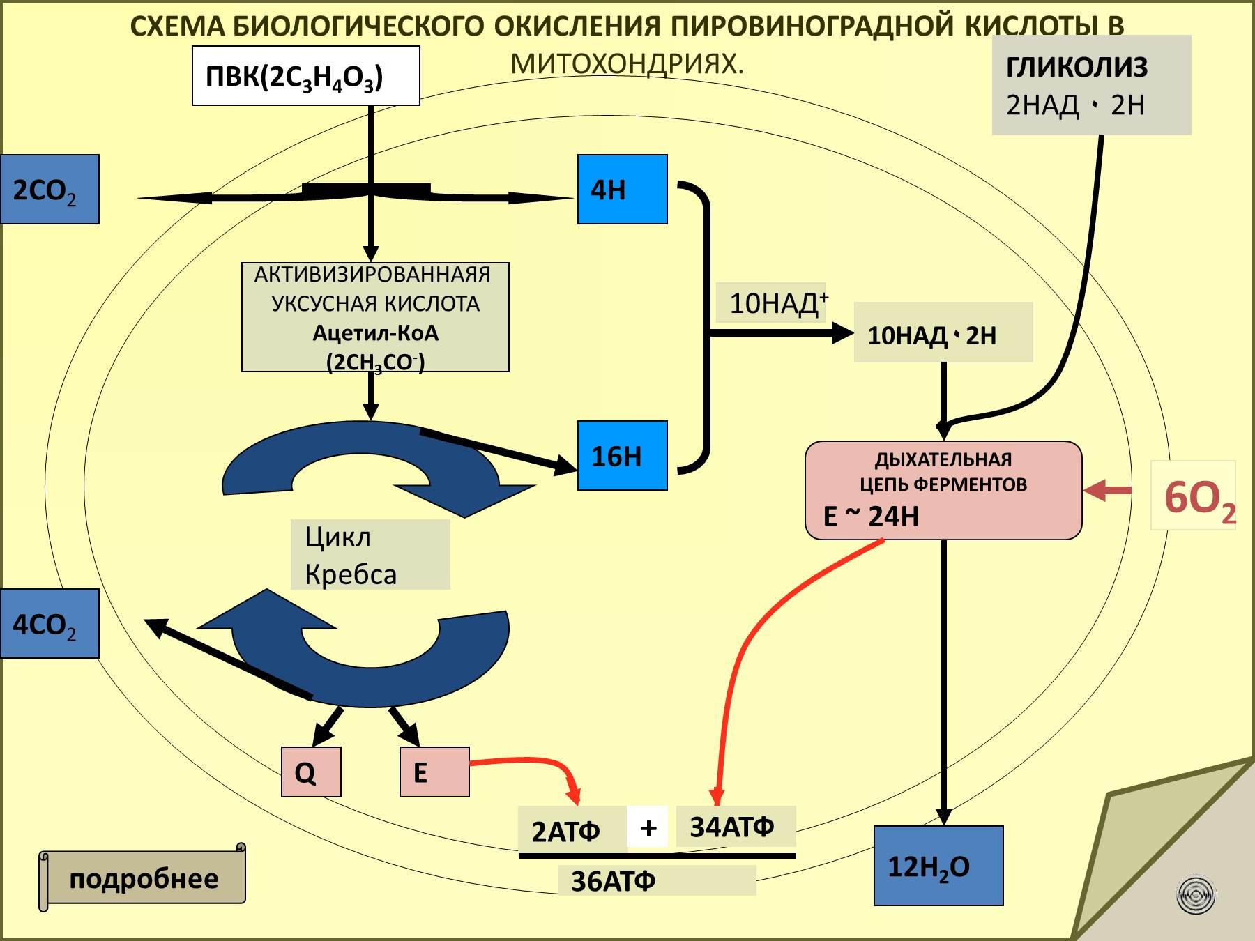 Пути биологического окисления схемы