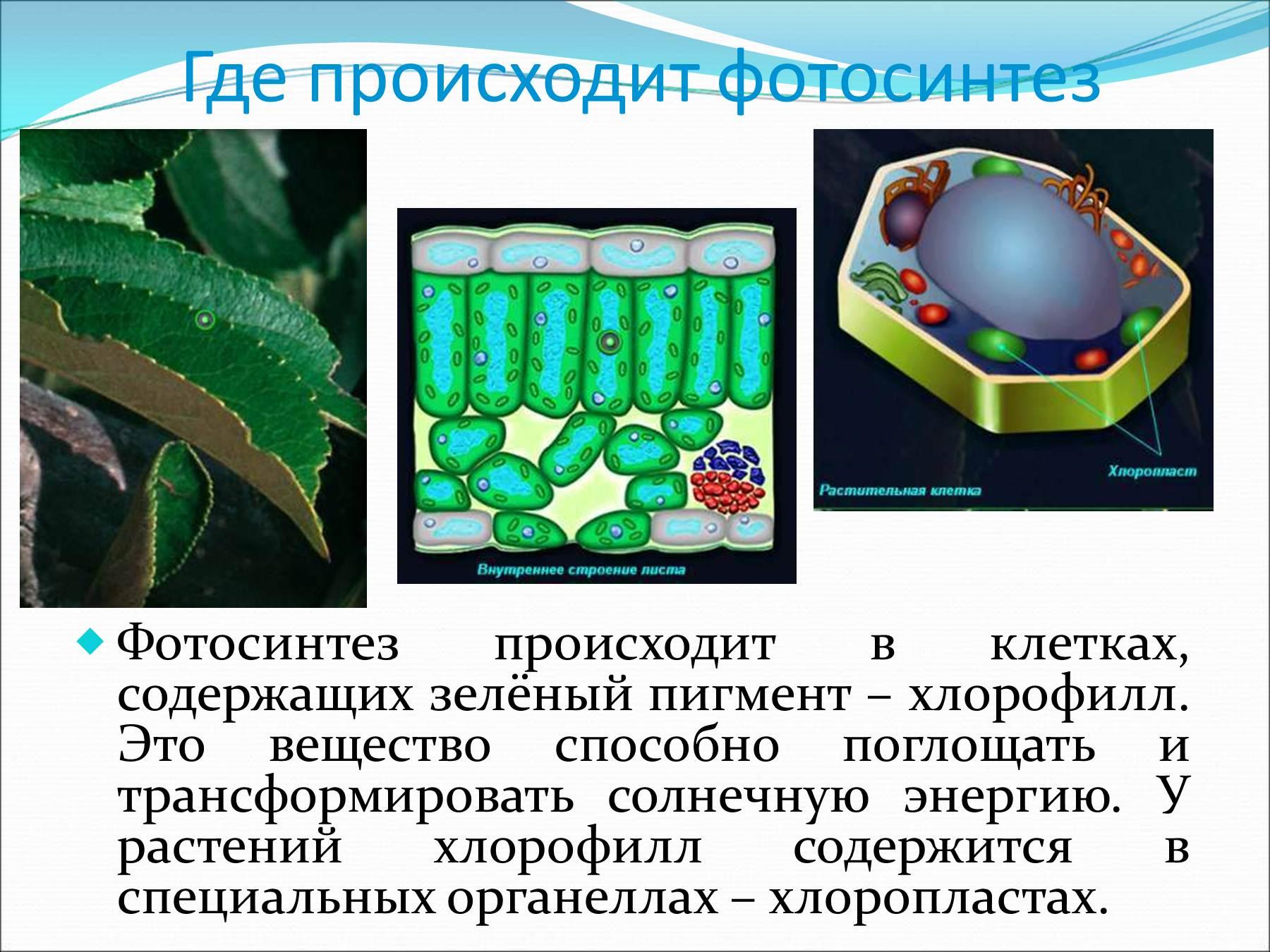 Какое вещество отвечает за фотосинтез растений