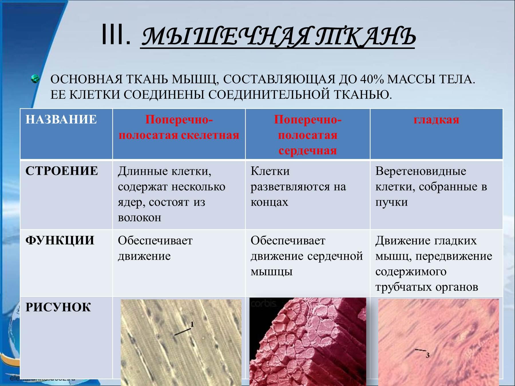 Схема строения гладкой мышечной клетки