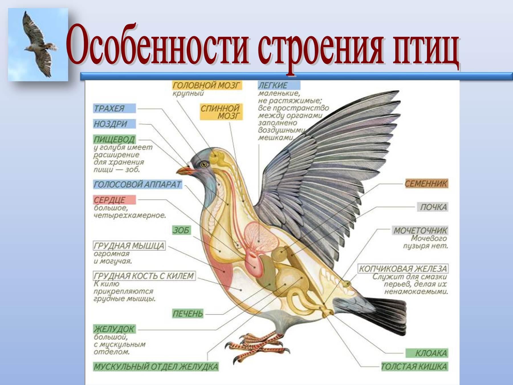 будет картинка внутреннего строения птицы люди поженились чуть