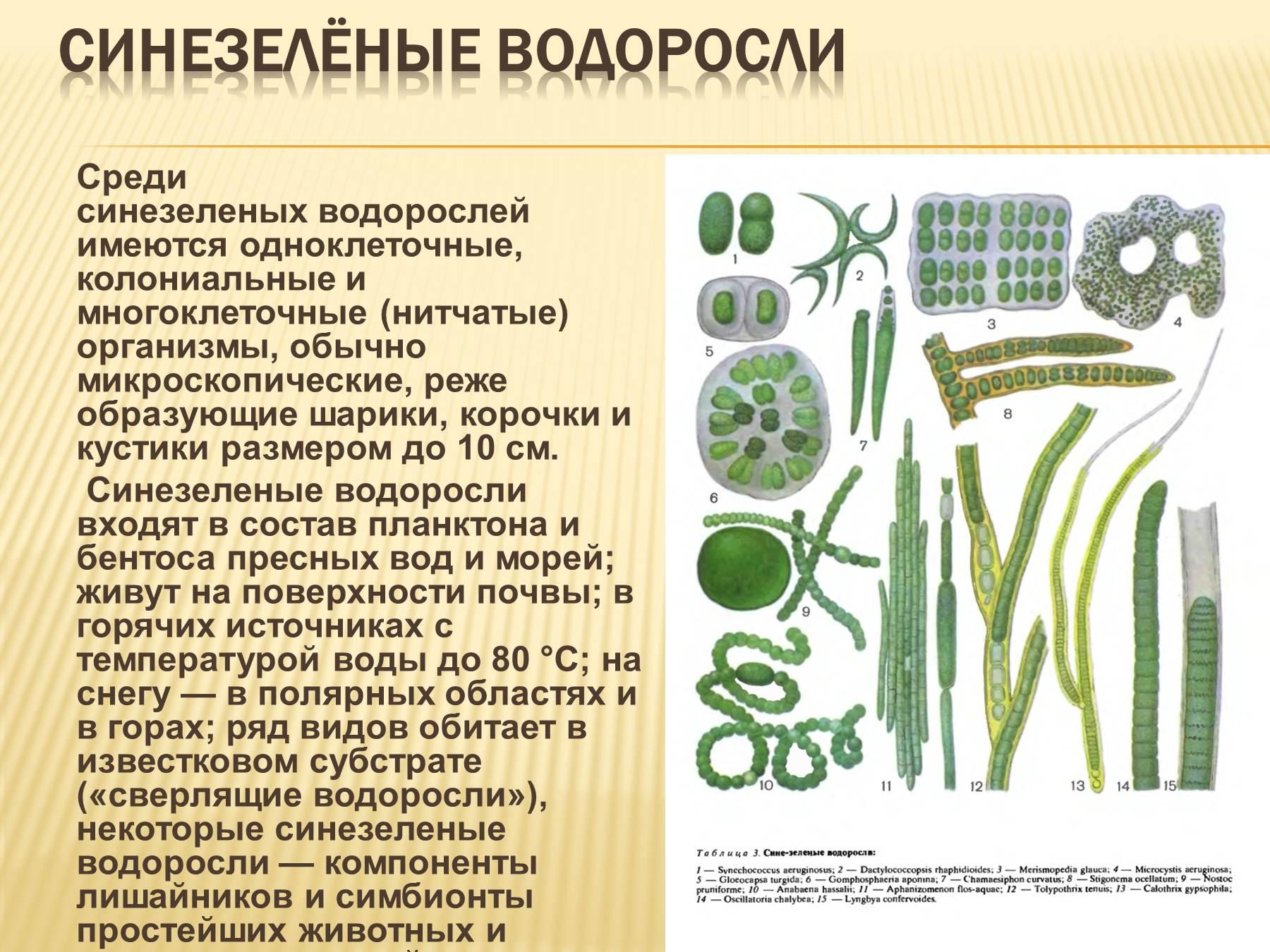 Строение харовых водорослей схема