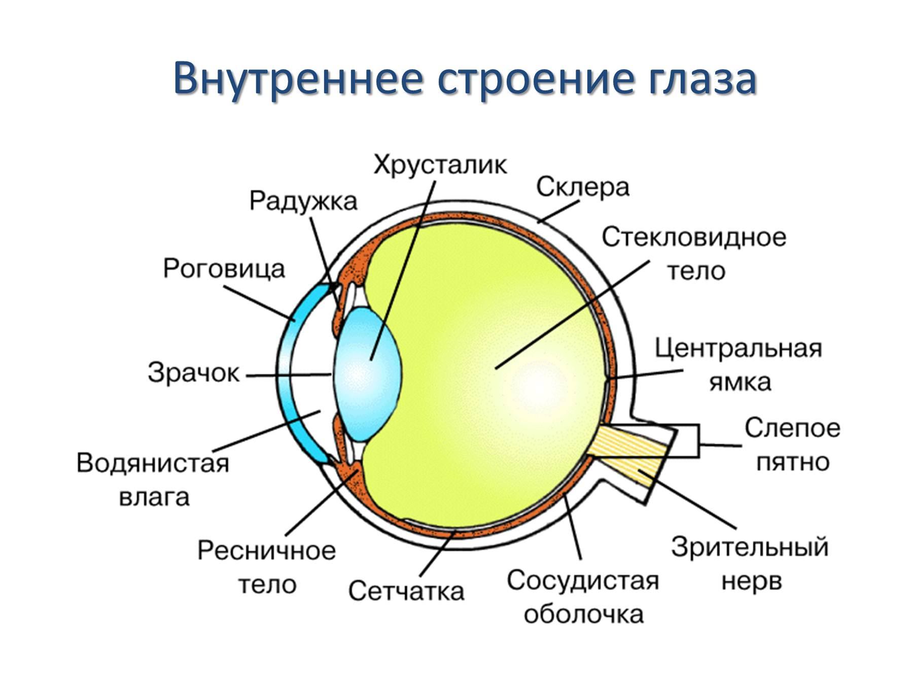 Схема строения человеческого глаза