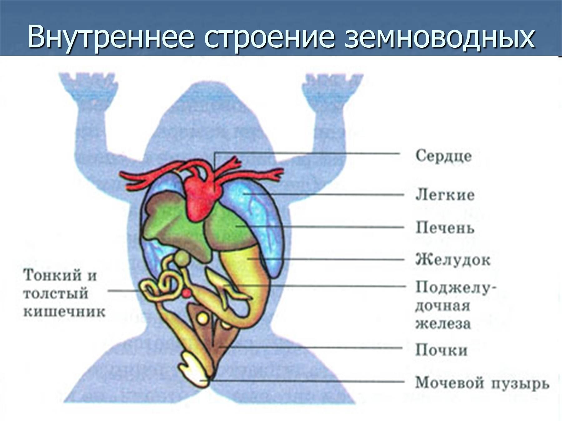 Схема скелета земноводных 7 класс