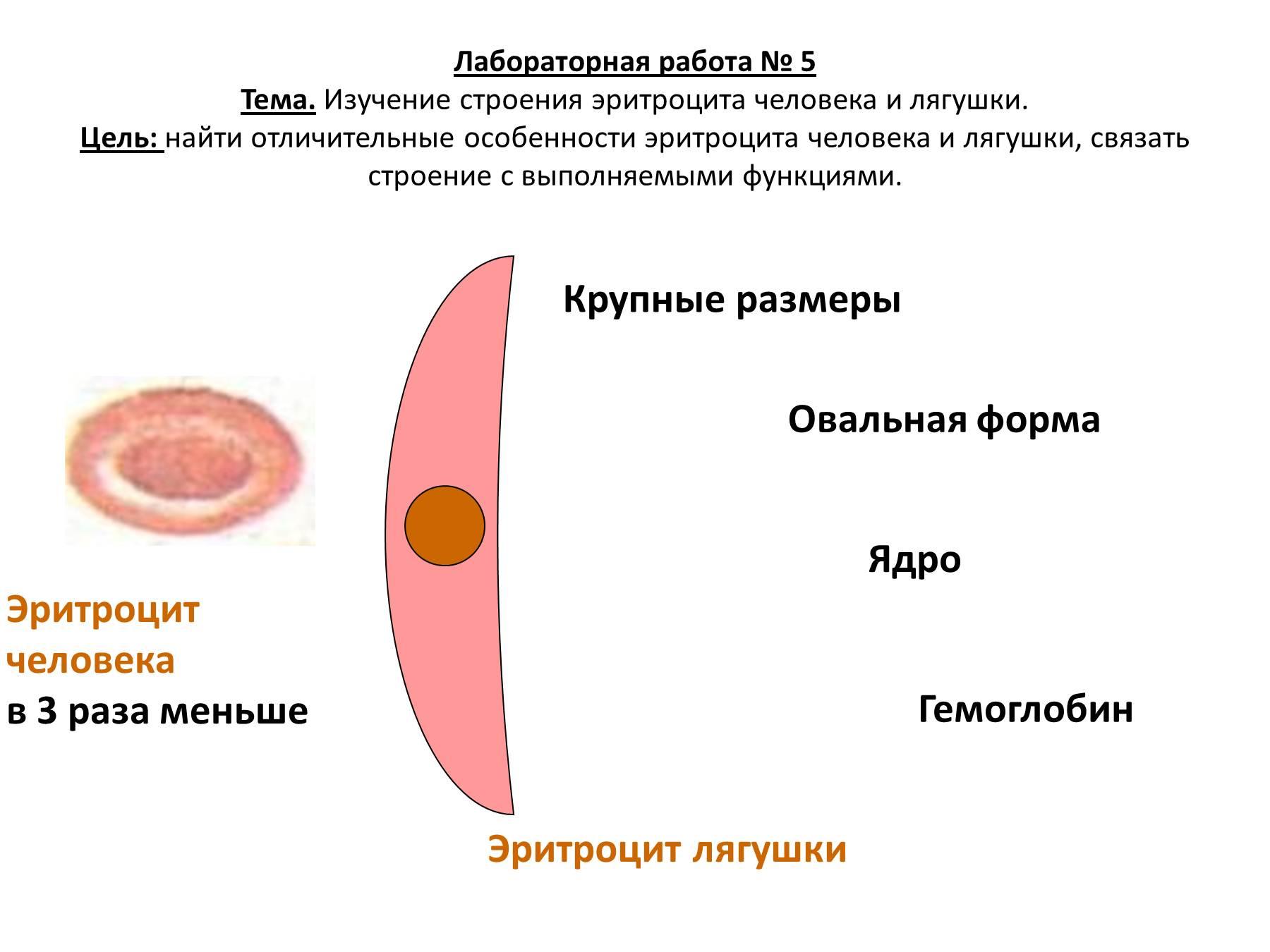 Какие особенности эритроцитов связаны с их функциями 92