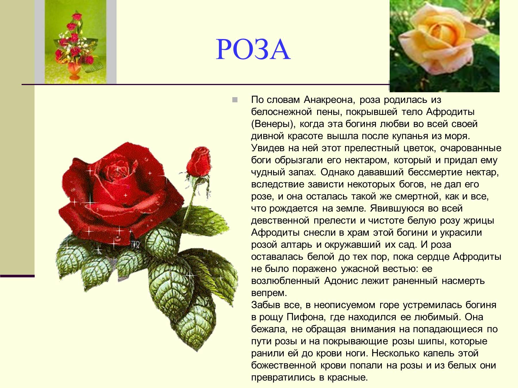 legendi-o-tsvetah-roza-prezentatsiya
