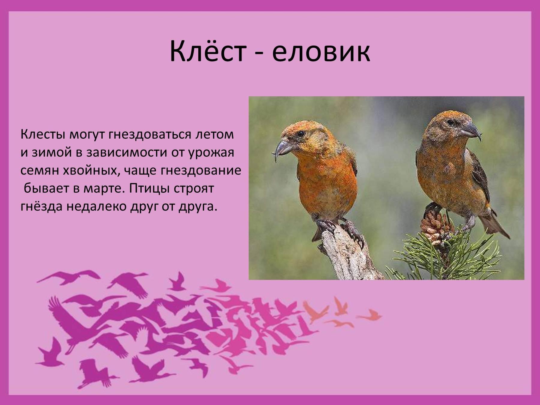 Птица клест фото и описание для детей
