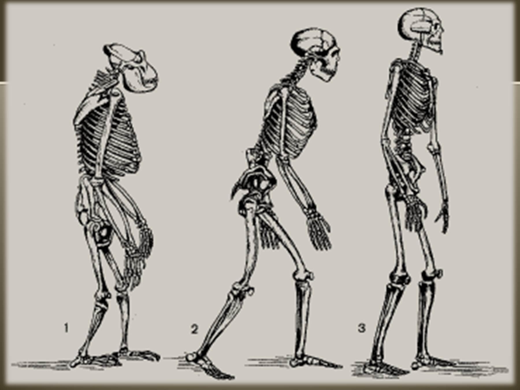 Рисунок осевого скелета сельско хозяйственных животных 4