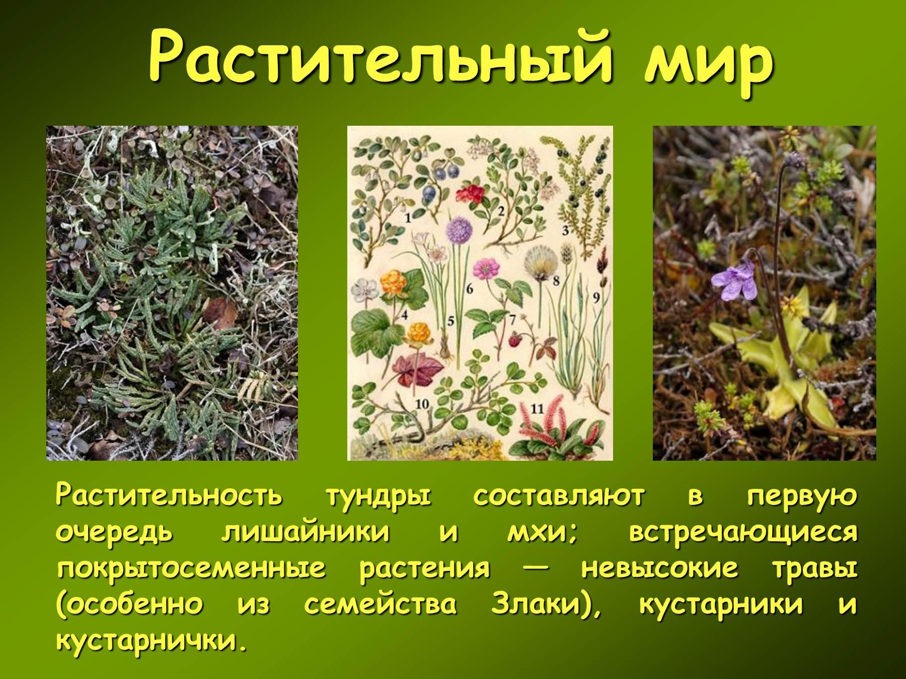 Растения тундры фотографии надписями 2