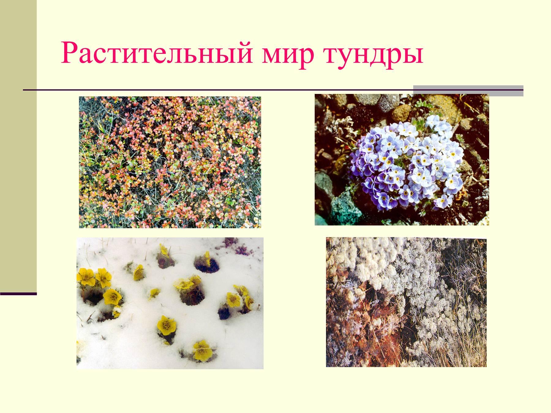 Растения тундры фотографии надписями 6