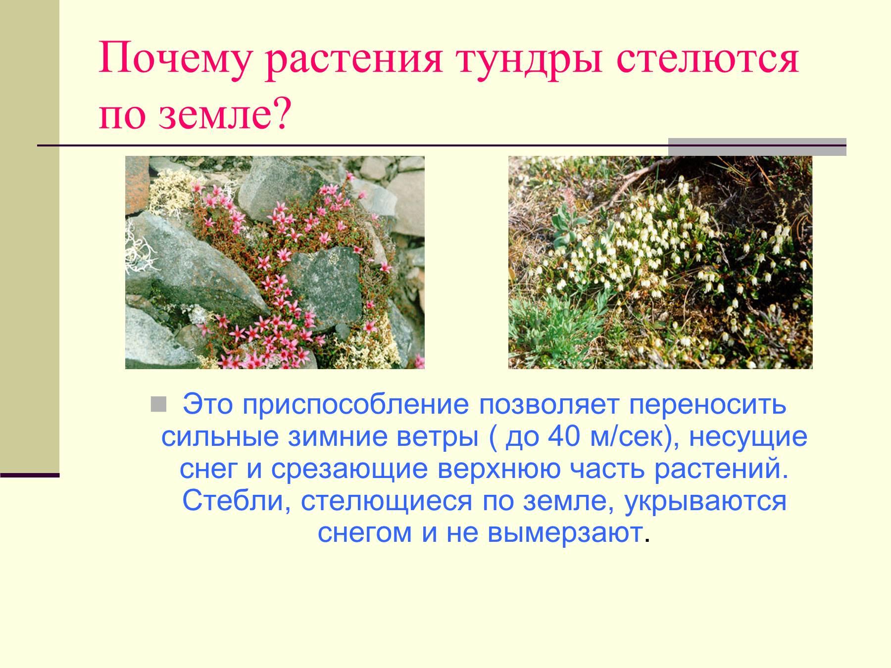 Растения тундры фотографии надписями 7