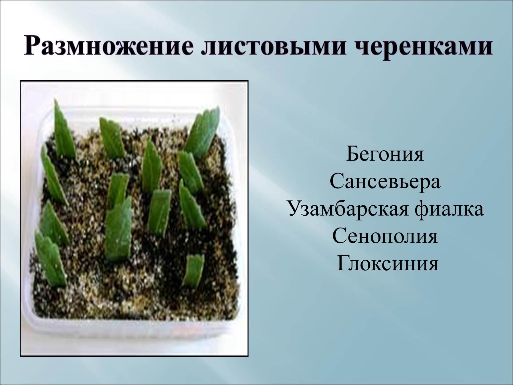 Сансевиерия размножение листом фото пошаговый