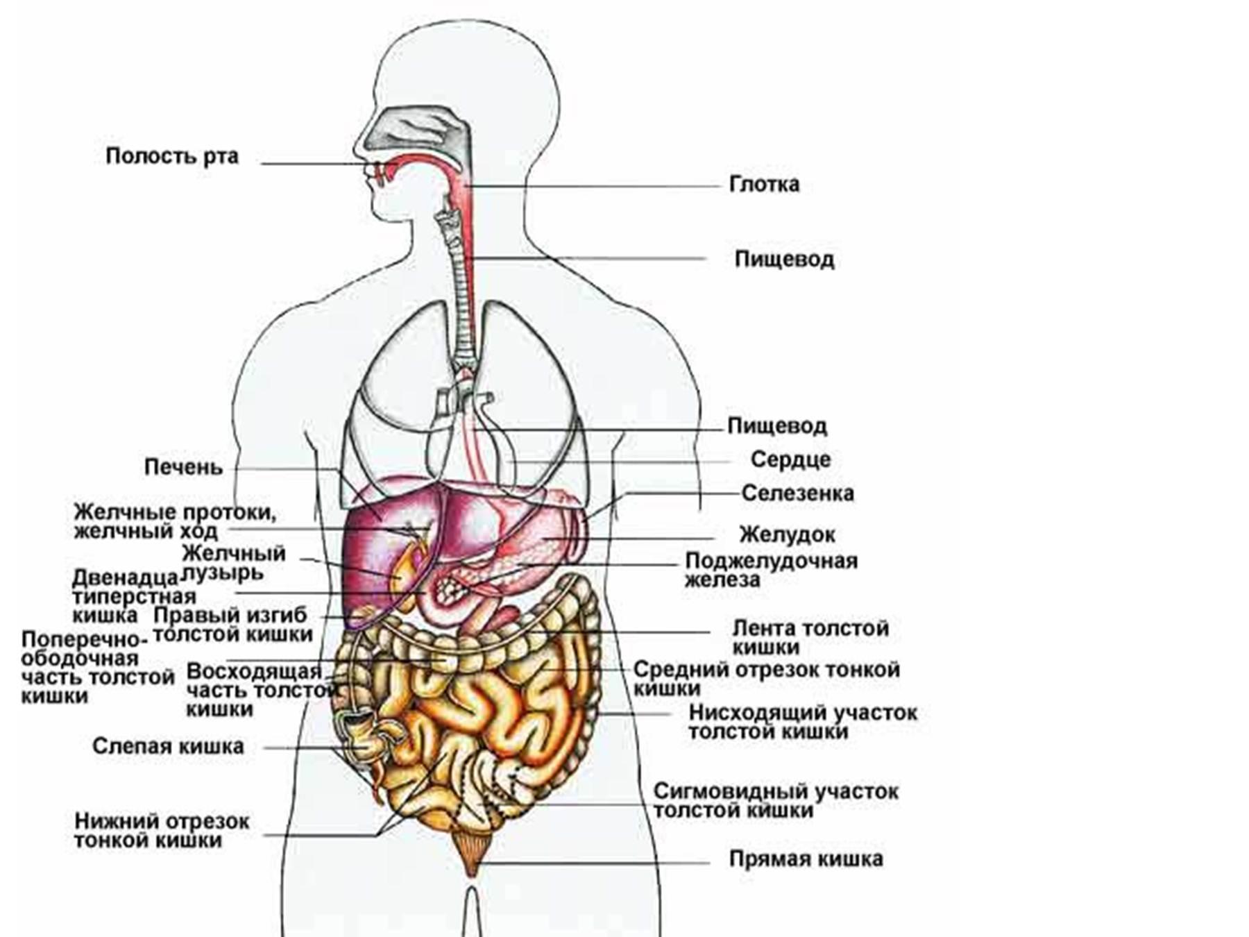 Расположение половых органов женщин 13 фотография
