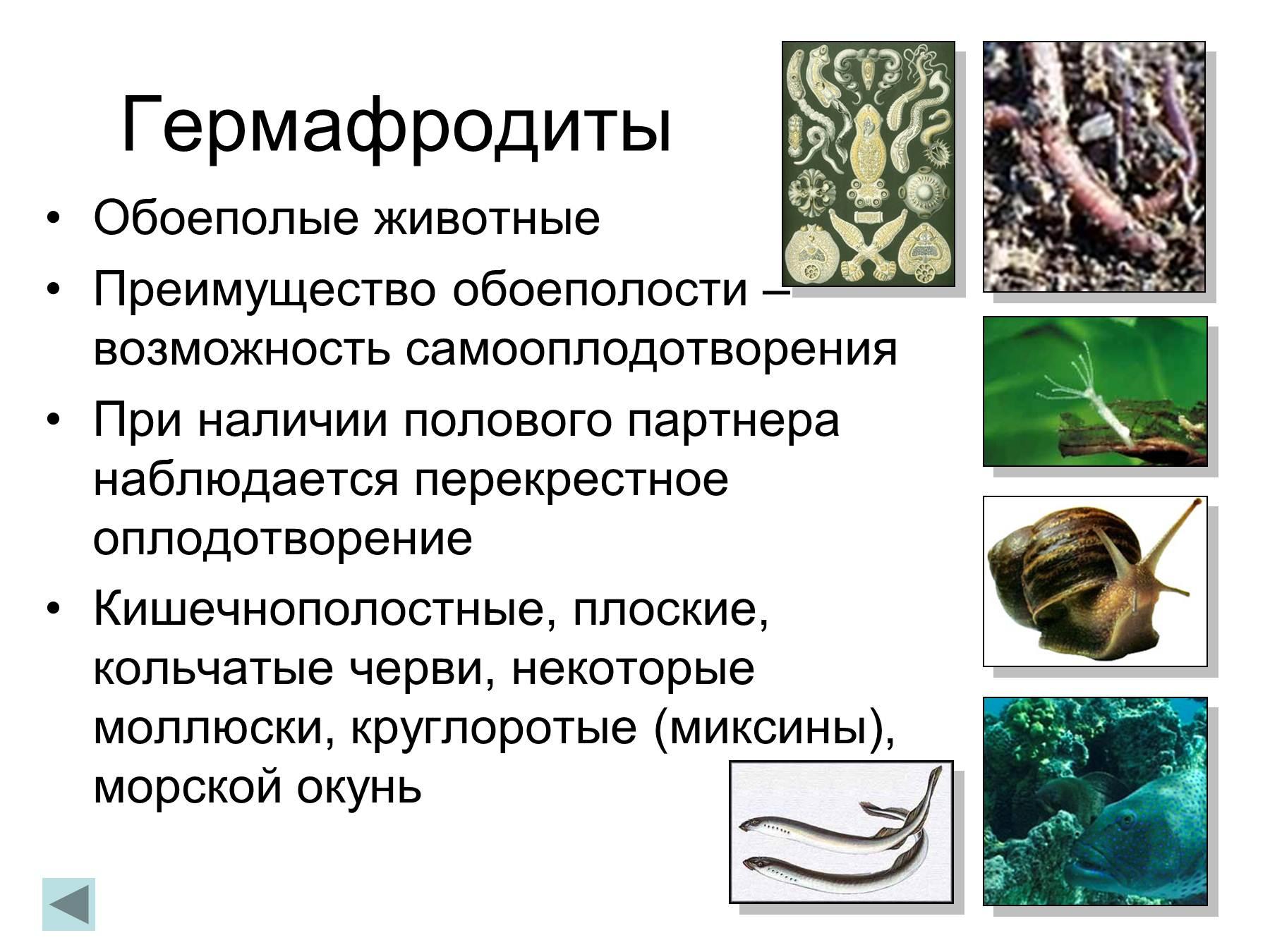 Сейчас, дождевой червь гермафродит или нет