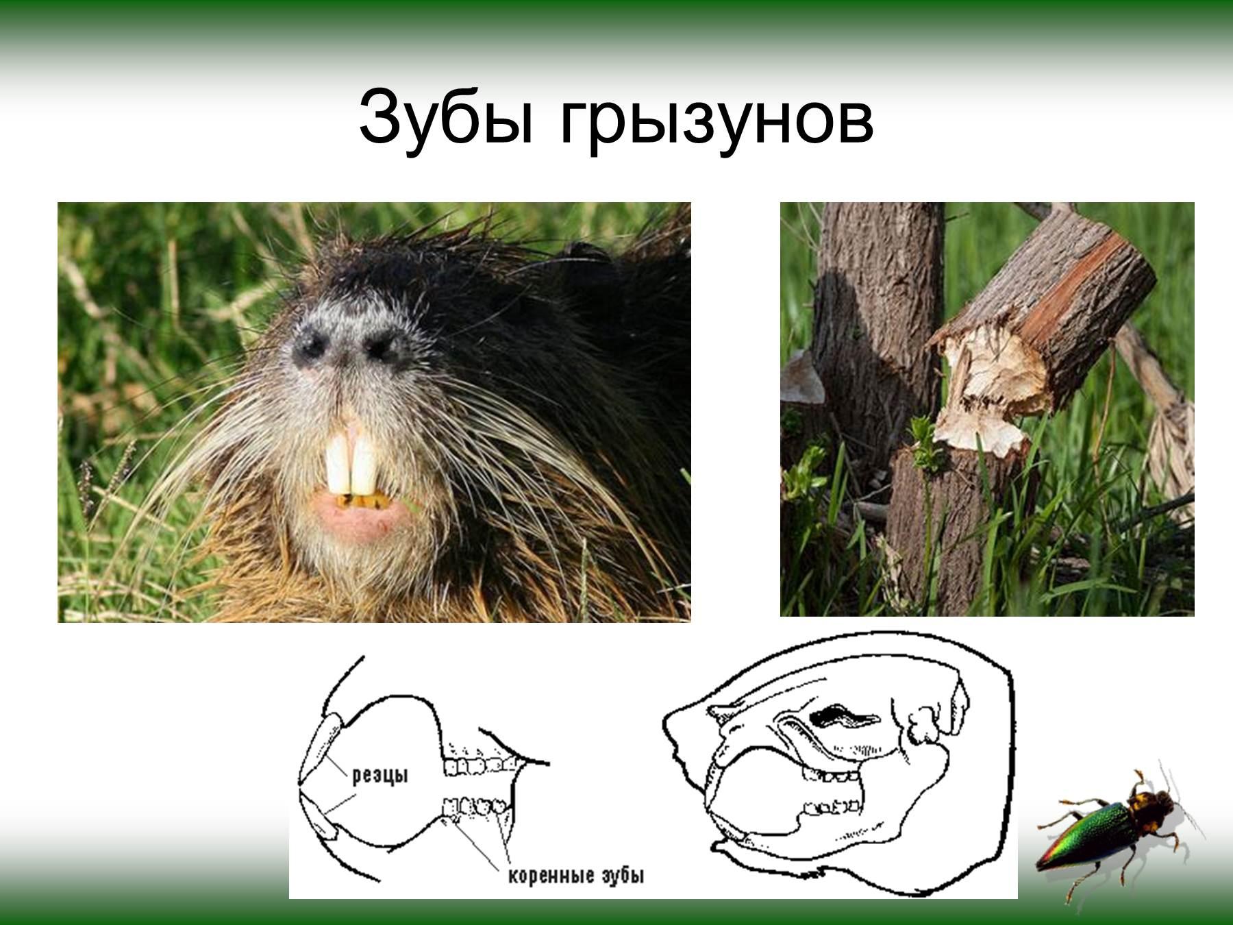 животные сибири презентация 3 класс