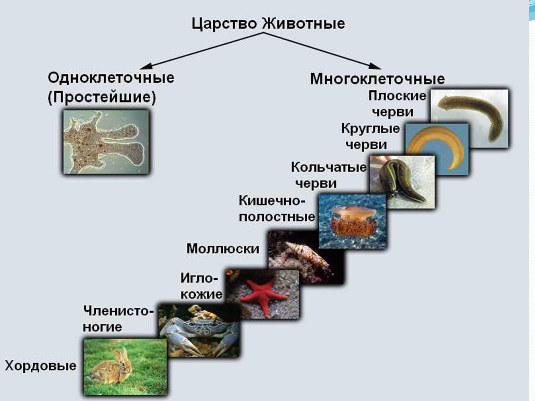 Классы и типы животных схема
