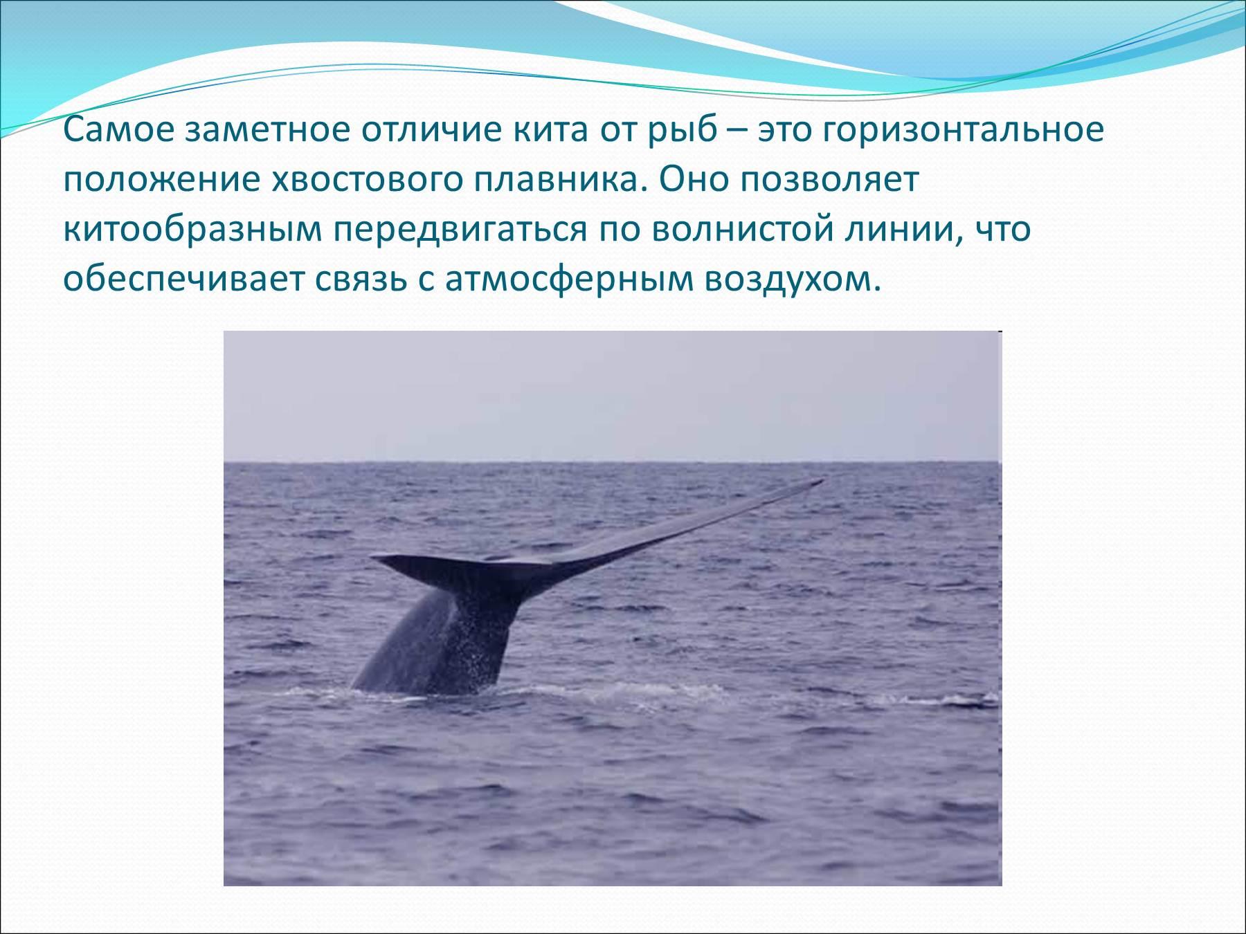 Презентацию на тему китообразные и ластоногие