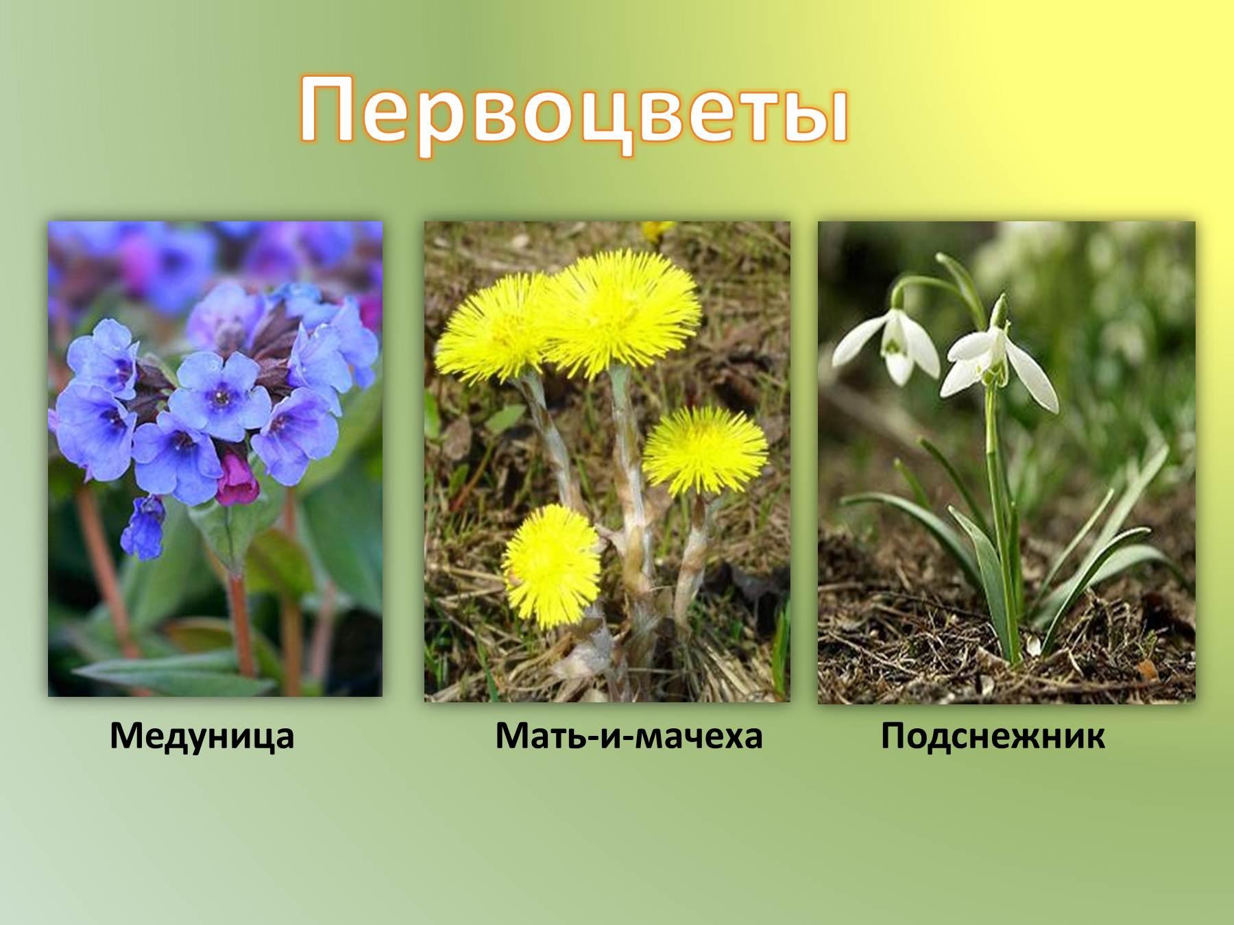 Медуница: виды, состав, свойства, применение, противопоказания 19