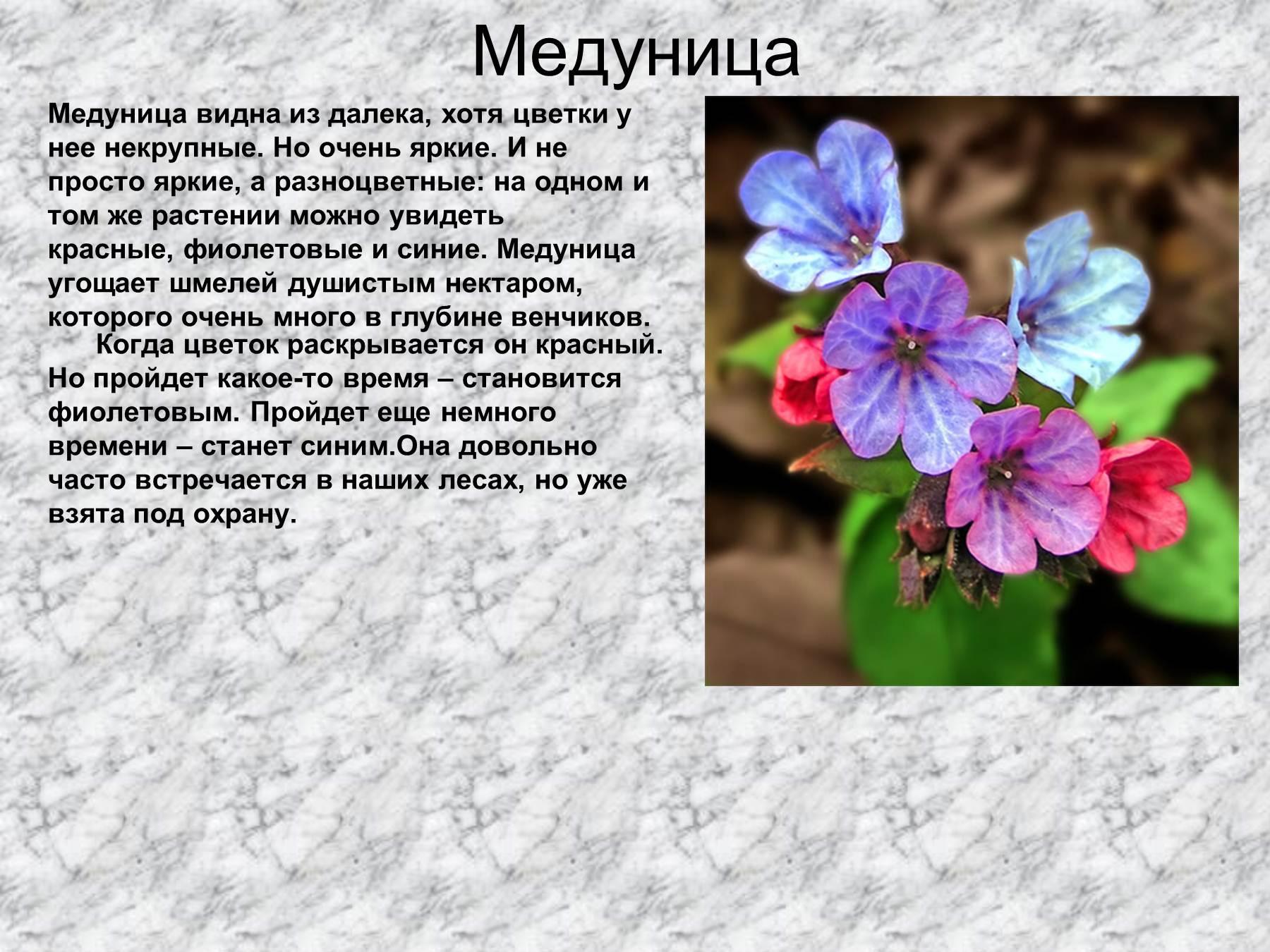 Медуница: виды, состав, свойства, применение, противопоказания 67