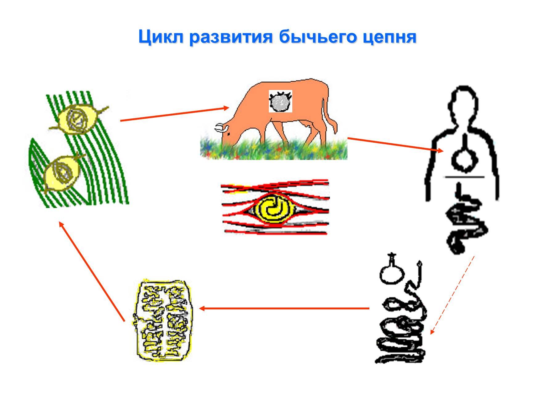Схема цикла развития бычьего цепня