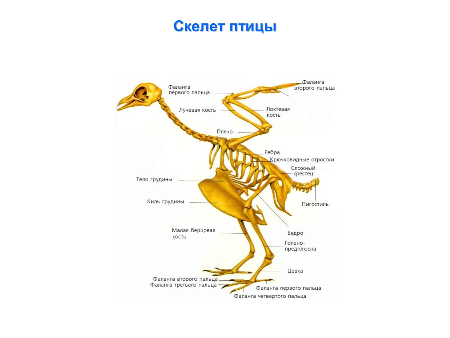 Картинка скелет птицы
