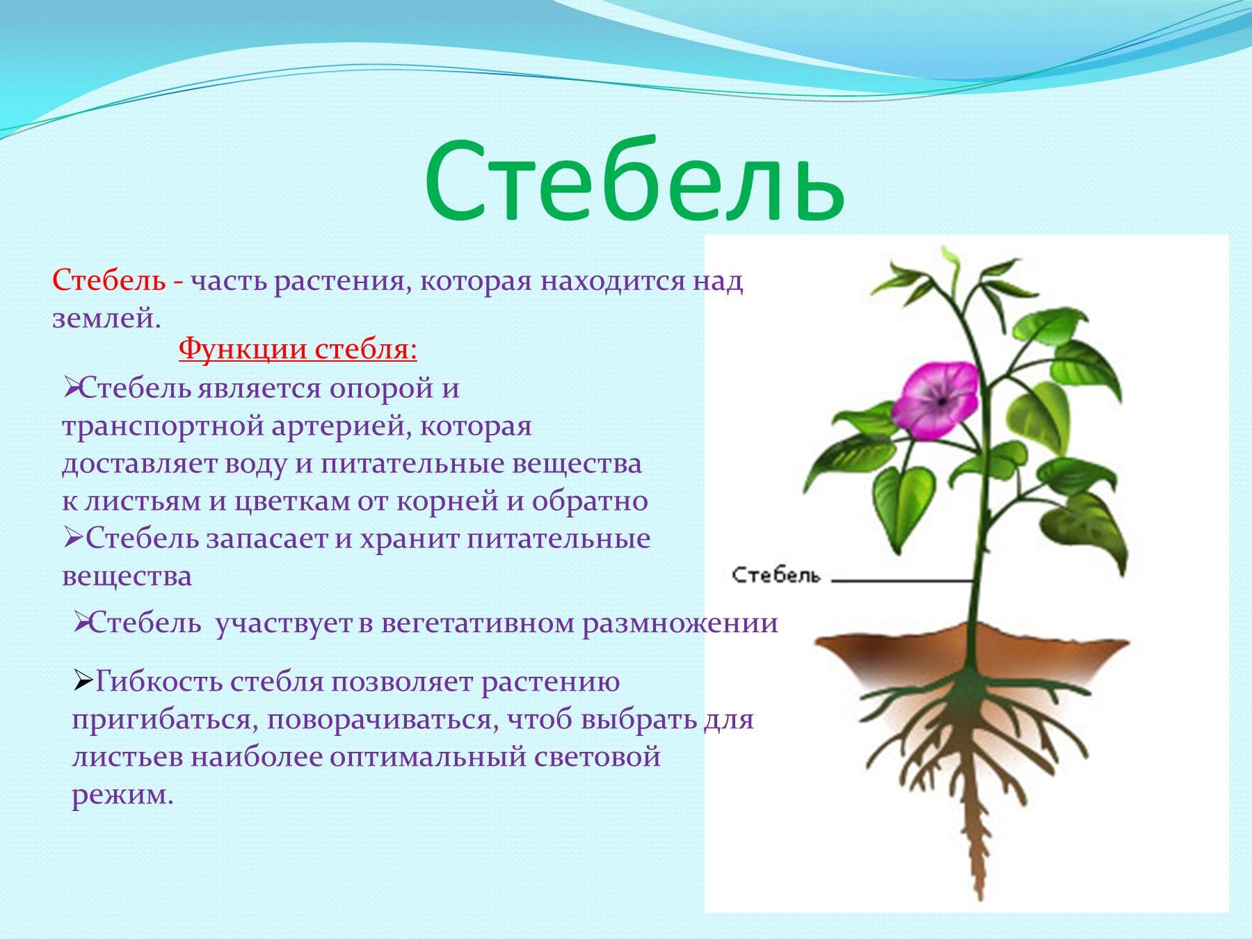 Стебель цветка описание и фото