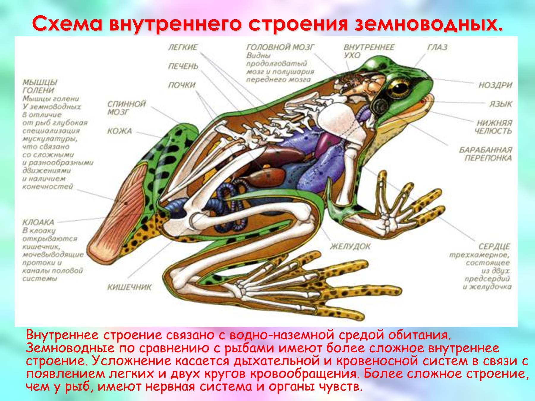 golaya-kozha-pomogaet-lyagushke-dishat