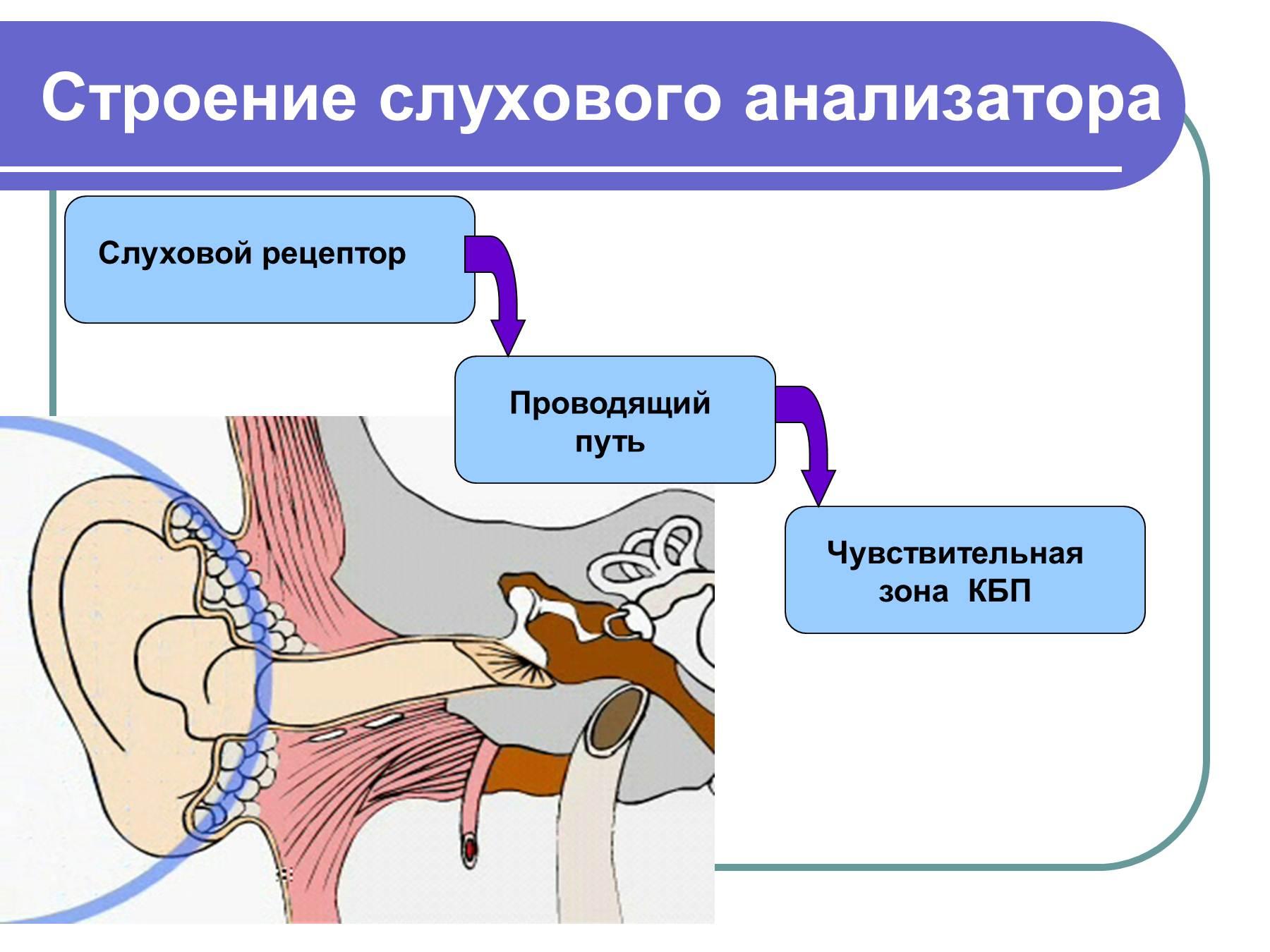 Схема проводящих путей слуховой сенсорной системы