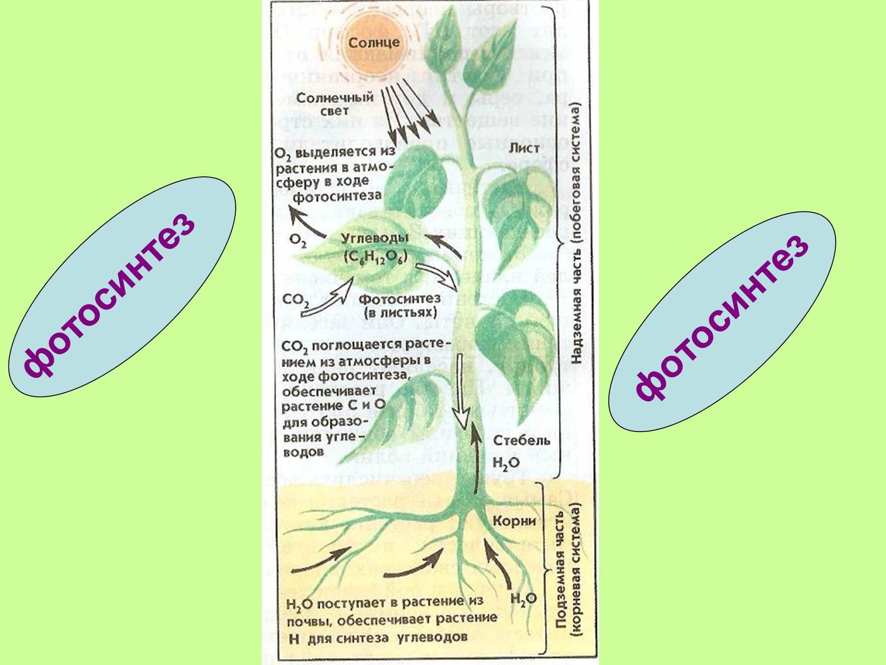 Как называются конечные продукты фотосинтеза