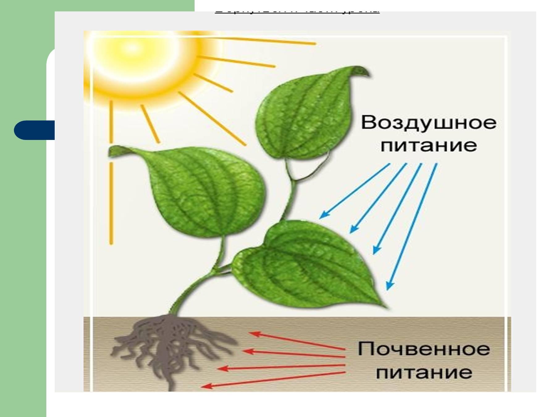Чем и как питаются растения картинки