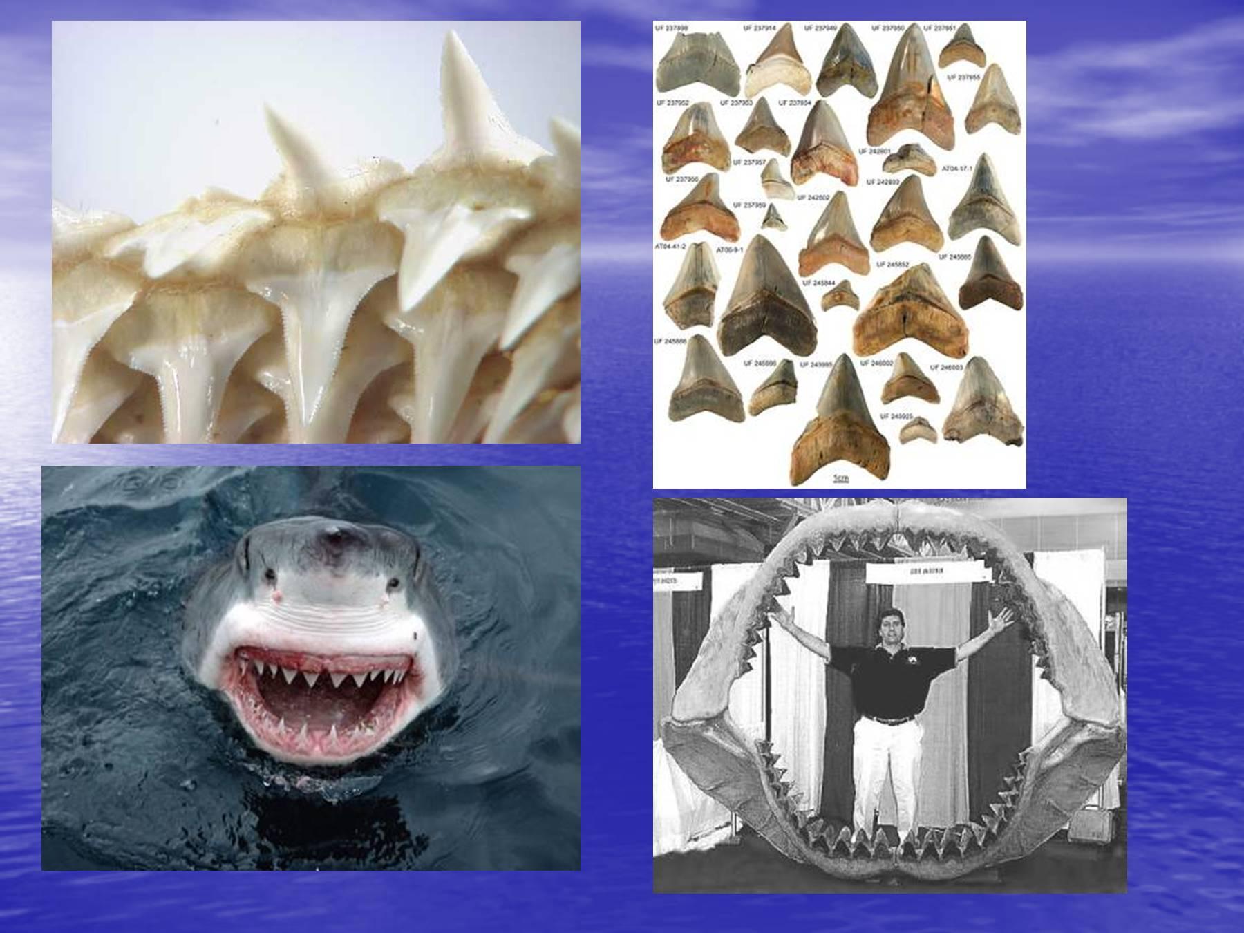рассматривать презентация картинок про акул правило, производители