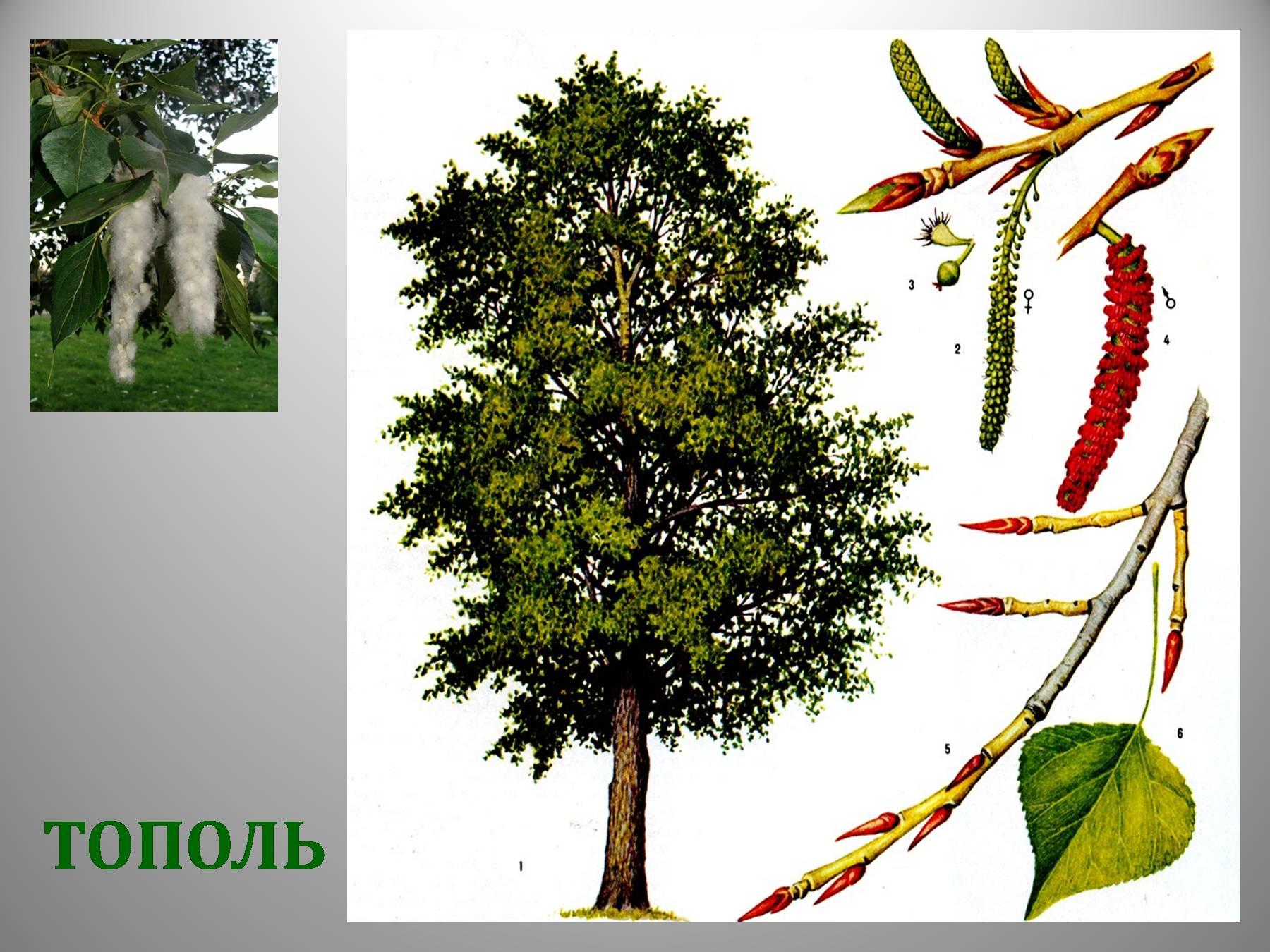 узнать тополь дерево картинка для ближайшее время певица