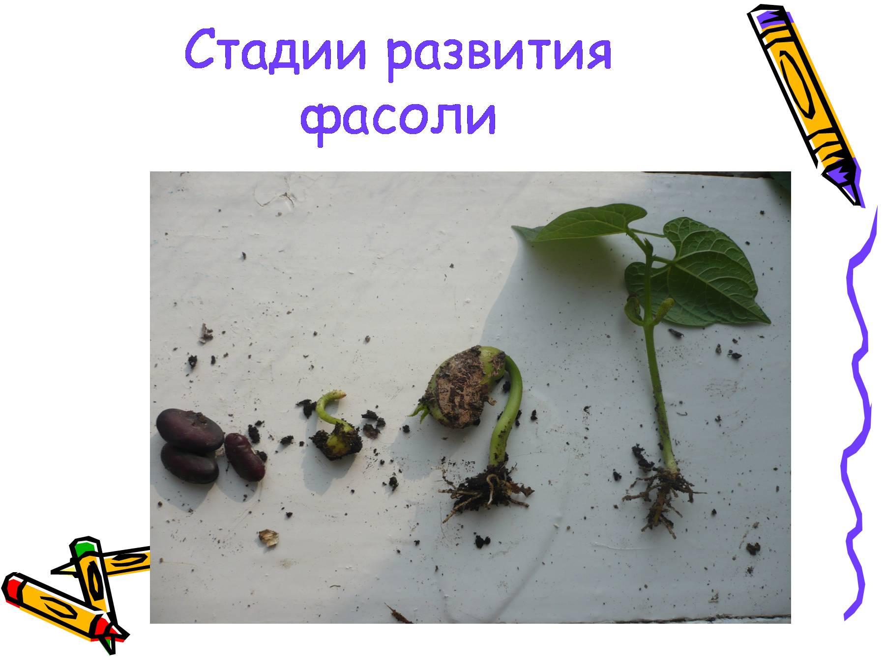 солнышко картинка как развивается растение из семени всему миру