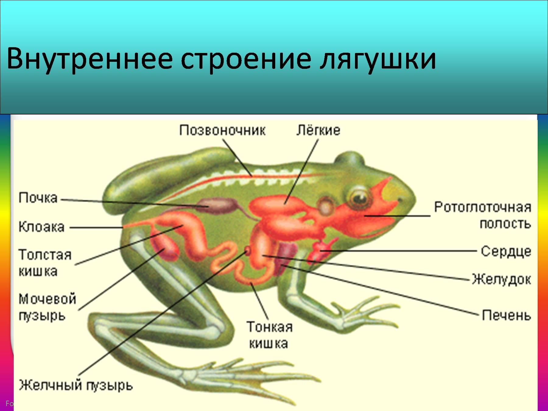 внутренне строение лягушки картинки большинстве это
